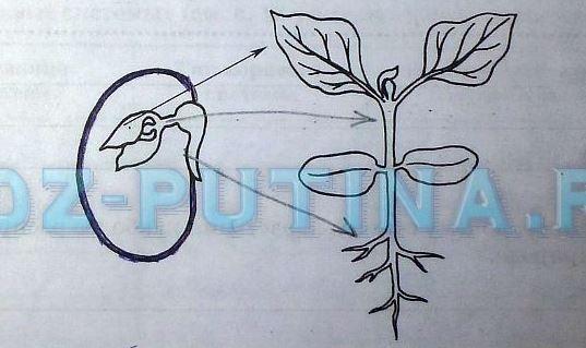 как устроены семена яблони и тыквы картинки