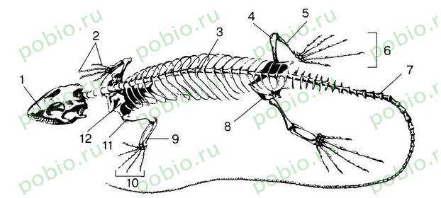 Скелет рептилии схема
