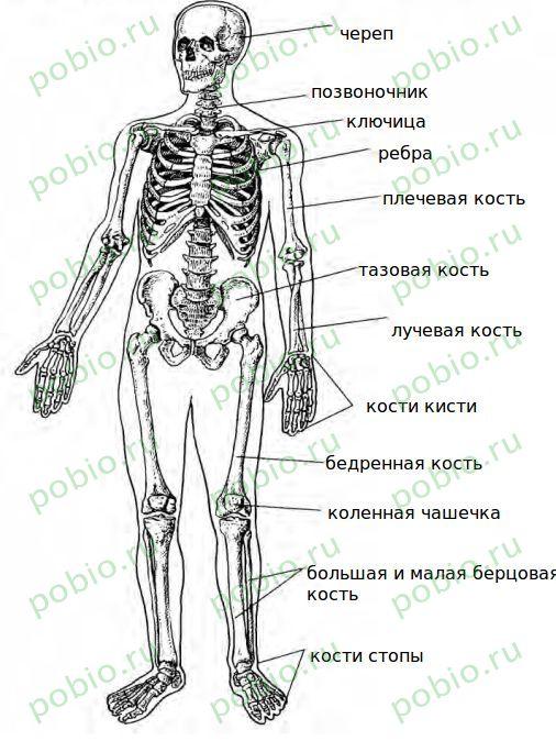 Основные структурные элементы скелета кости и суставы воспаление фасеточных суставов